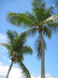 Pair of palm trees at Cayo Levantado.jpg