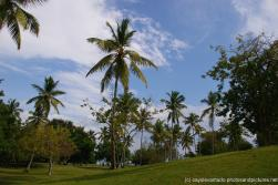 Palm trees at a grassy area in Cayo Levantado.jpg