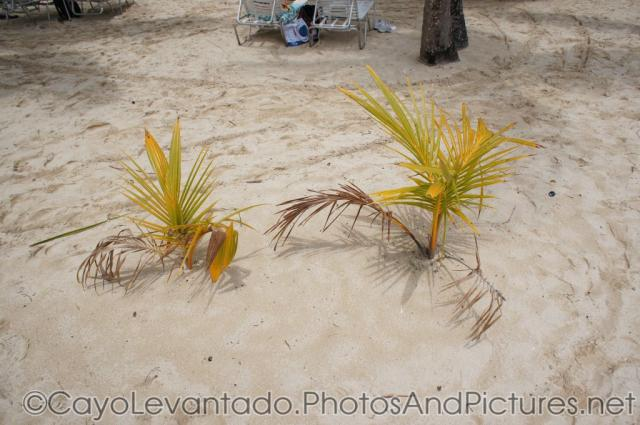 Baby palm trees at Cayo Levantado.jpg