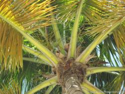 Coconuts in a tree at Cayo Levantado.jpg